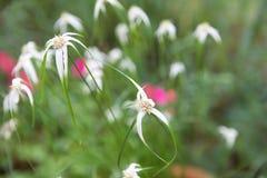 Blume wie ein Tanzen-Stern Lizenzfreie Stockfotografie