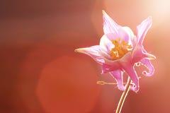 Blume wih Sonnenuntergang-Hintergrund Lizenzfreie Stockfotos