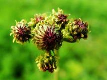 Blume, wilde Blumen, konnte aufwenden Stockfotos