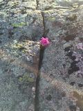 Blume zwischen Felsen Stockbilder