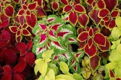 Blumei de coleus d'Urtica Images stock