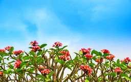 Blumen Adenium auf dem blauen sk? Lizenzfreie Stockfotografie