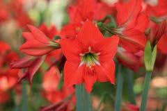Blumen - Amarilla, rote Flamme Stockfoto
