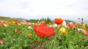 Blumen arbeiten mit buntem im Garten stock footage