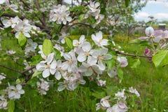 Blumen auf Apfelbaumasten Lizenzfreies Stockfoto