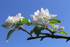 Blumen auf Apfelzweig Stockbild
