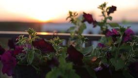 Blumen auf dem Dachpatio auf dem Sonnenuntergang an einem windigen Tag stock video