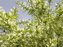 Blumen auf dem Lorbeerbaum Lizenzfreies Stockbild
