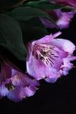 Blumen auf dem schwarzen Hintergrund Stockbilder