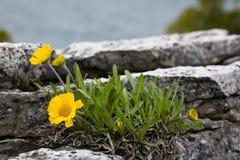 Blumen auf den Felsen Stockbild