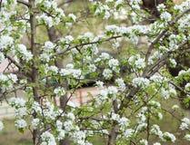 Blumen auf einem Apfelbaum in einem blühenden Sommergarten stockfotografie