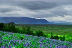 Blumen auf einem Gebiet in Nationalpark Thingvellir stockfotografie