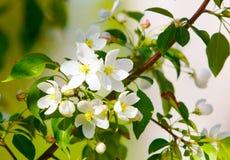 Blumen auf einer Niederlassung des Apfels Lizenzfreie Stockbilder