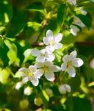 Blumen auf einer Niederlassung des Apfels Schöne weiße Blumen Stockbild
