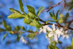 Blumen auf einer Niederlassung des Obstbaumes Lizenzfreies Stockfoto