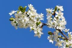 Blumen auf einer Niederlassung des Obstbaumes Stockfoto
