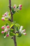 Blumen auf Niederlassung des Obstbaumes Stockfoto