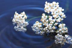 Blumen auf Wasser Stockfoto
