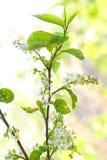 Blumen auf Zweig des Baums Lizenzfreies Stockfoto