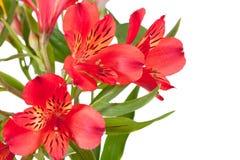 Blumen bündeln von einigen roten Alstroemeria Stockbild