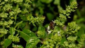 Blumen-Basilikum stock video footage