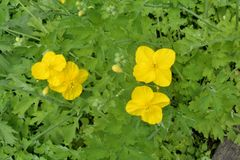 Blumen bemuttern und Stiefmutter lizenzfreie stockfotos
