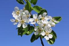 Blumen blühen auf einem Zweig der Birne gegen blauen Himmel Stockbild