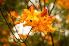 Blumen-Blühen Florida-Azaleen-(Rhododendron Austrinum) stockbilder