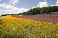 Blumen blühen im Bauernhof Tomita in Nakafuano-Stadt herein Stockbild