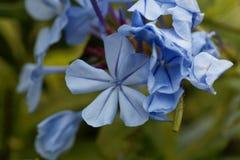 Blumen blauen Bleiwurz Bleiwurz auriculata Lizenzfreie Stockfotos