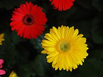 Blumen, Blumenchrysantheme, Chrysanthementapete, Stockfotos