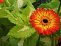 Blumen, Blumenchrysantheme, Chrysanthementapete, Stockbilder