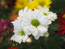 Blumen, Blumenchrysantheme, Chrysanthementapete, Lizenzfreies Stockbild