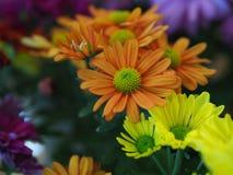 Blumen, Blumenchrysantheme, Chrysanthementapete, Lizenzfreie Stockfotografie