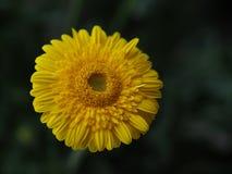 Blumen, Blumenchrysantheme, Chrysanthementapete, Lizenzfreie Stockfotos