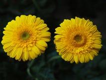 Blumen, Blumenchrysantheme, Chrysanthementapete, Stockfoto