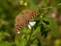 Blumen Brown-Schmetterlinges und der spanischen Nadel Lizenzfreie Stockfotos