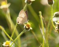Blumen Brown-Schmetterlinges und der spanischen Nadel Stockfotografie