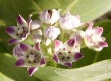 Blumen Calatropis Procera Stockbild