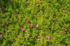Blumen Carpobrotus acinaciformus Stockbild
