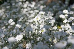 Blumen Cerastiumnahaufnahme stockfotografie