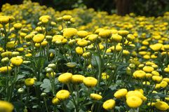 Blumen - Chrysantheme Stockfoto