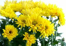 Blumen-Chrysantheme Stockfotos