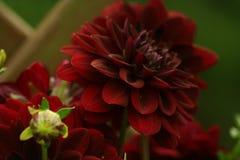 Blumen in den Gärten, Dahlia Arabian Night Lizenzfreies Stockbild