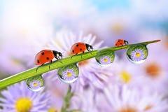 Blumen in den Tropfen des Taus auf dem grünen Gras und den Marienkäfern Lizenzfreie Stockbilder