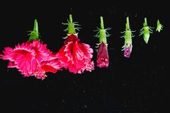 Blumen in den verschiedenen Stadien von den neuen Knospen zur vollen Blüte, herein Lizenzfreies Stockfoto