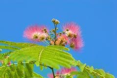 Blumen der Akazie (Albizzia julibrissin) Stockfotografie