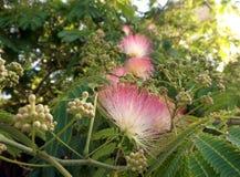 Blumen der Akazie (Albizzia julibrissin) Stockfotos