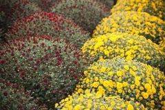Blumen der Allerseelen Stockfotografie
