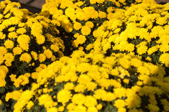 Blumen der Allerseelen Lizenzfreie Stockfotografie